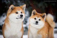 Japanese Akita, Japanese Dogs, Akita Dog, Shiba Inu, Chiba, Animals For Kids, Cute Animals, Cute Puppies, Cute Dogs