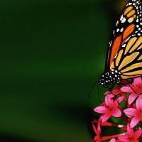 Kelebek ve Pembe Çiçek