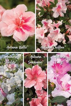 Can't decide on one color of Encore Azalea? Use one of the five Encore bi-colored azaleas, which offer interest and beauty to the garden with patterns of freckled, streaked and/or edged colors. See more! #yearlongcolor #azaleacolors #plantstyle #encoreaza Bloom, Plants, Garden, Southern Garden, Lawn And Garden, Azalea Color, Garden Styles, Flowers, Landscaping Plants