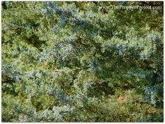 Juniper berries are rich in bioflavinoids.