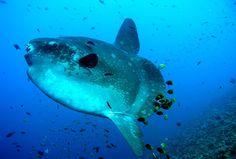 Ocean sunfish (Mola mola)マンボウ
