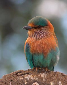 This photo from Punjab, East is titled 'The Indian Roller'. All Birds, Cute Birds, Pretty Birds, Little Birds, Beautiful Birds, Animals Beautiful, Cute Animals, Exotic Birds, Colorful Birds