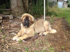 Our puppy Bruno. He is a Caucasian Shepherd 5 months old! 5 Month Olds, Mountain Dogs, 5 Months, Puppies, Friends, Animals, Amigos, Cubs, Animales