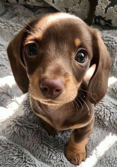 How To Care For A New Dachshund Puppy - cute puppies Super Cute Puppies, Cute Baby Dogs, Cute Little Puppies, Cute Dogs And Puppies, Cute Little Animals, Cute Funny Animals, Doggies, Cute Pets, Bulldog Puppies