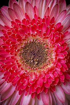 Pink Gerbera Daisy Photograph by Garry Gay - Pink Gerbera Daisy Fine Art Prints and Posters for Sale
