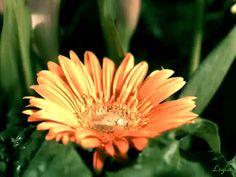 Капля воды, падающая на цветок, анимация
