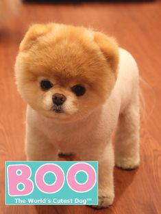 Boo (author of Boo : the life of the world's cutest dog)