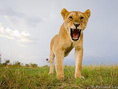 Incredible Lion Photos Taken With High-Tech Remote Control Camera