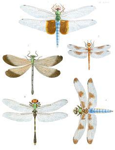 Dragonflies/Damselflies (Odonata