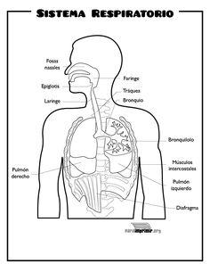Sistema Respiratorio para imprimir