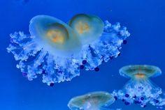 Jellyfish  blue  #jellyfish #meduse #loroparque