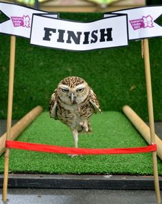 Owl competes in 100 cm sprint at London Zoo (EPA)