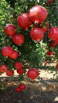 Fruit Plants, Fruit Garden, Fruit Trees, Trees To Plant, Beautiful Fruits, Beautiful Gardens, Beautiful Flowers, Exotic Fruit, Tropical Fruits