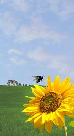 bumblebee & sunflower