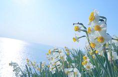 兵庫県、淡路島の可憐な水仙の群生