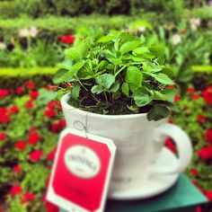 Tea plants at Epcot's Flower and Garden Festival. Idea for all my teacups, and it's Disney!