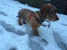 Rosa in de sneeuw