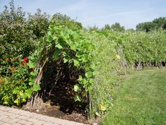 Squash or other plant tunnel