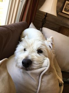 My sister and her husband have this lovable Westie, Leo. He is a ham and Tude all rolled into one!