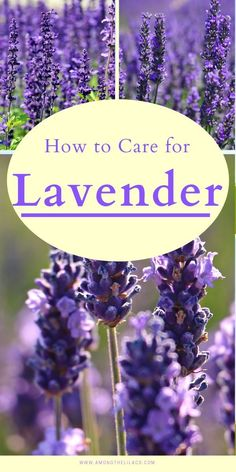 Lavender is a low-maintenance perennial that is gorgeous in a flower garden bed. Learn how to plant, grow, and care for lavender with this easy guide! Lavender Plant Care, Lavender Bush, Growing Lavender, Lavender Garden, Lavender Flowers, Beautiful Flowers Garden, Beautiful Gardens, Topiary Trees, Topiaries