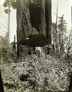 Redwood 1910, Mendocino County, California California History, Central California, Northern California, Mendocino County, Redwood Forest, Golden State, Beautiful Places, Earth, Mother Goddess