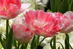 peony-tulips-close-up-byron-varvarigos.jpg (900×600)