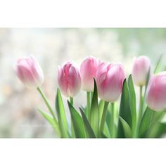Tulip photograph, fine art print, flowers, white, pink, spring, pastel... ($30) ❤ liked on Polyvore featuring home, home decor, wall art, flowers, pink wall art, shabby chic wall art, pink floral wall art, photo wall art and photography wall art