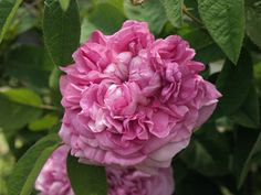 Gallica Rose: Rosa 'Daphne' (France, 1819)