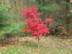 wikiHow to Choose Japanese Maple Trees -- via wikiHow.com