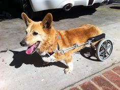 My paraplegic Welsh Corgi George, Considering dressing him as a roman chariot for halloween - Imgur