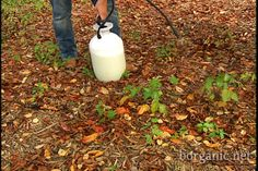 Organic poison ivy and oak killer!  Way less expensive than purchased products.