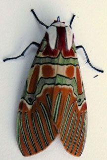 Mexican moth--Pretty wish the original pinner had identified it