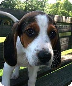 Windham, NH - Treeing Walker Coonhound. Meet Waylon a Puppy for Adoption.