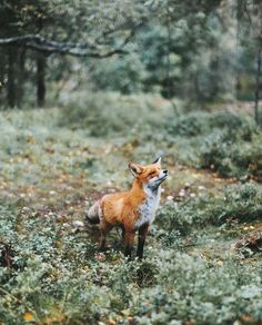 Beautiful fox.