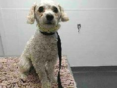 5/10/16 RESCUED (5/9) SULLIVAN #16-21104 By Awesome Bonnie Monaghan. Thank you! Happy Tails! 5/7 Rescue hold for Monday 5/9 5/4/16 URG SULLIVAN OVERLOOKED wht/tan Poodle mix male adult neutered aprox 12lbs. Looking very worried as to what will become of him now that he's at high kill SEAACA can the village rally to save this frightened big eyed boy? Sharing, needs serious networking & Foster for Rescue or Adopter & Pledges. At SEAACA since 4/26/16 avail 4/30 (562) 803-3301 OPTION 6