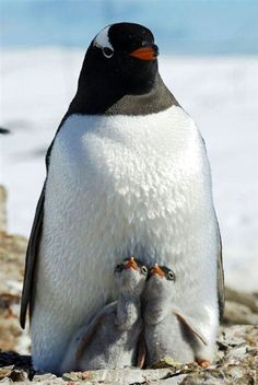 Penguin Twins? I never saw this before!