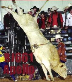 Bodacious Bull - The best Bull I have ever seen work in my life