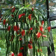 Los Epiphyllum son cactus pero unos muy especiales pues, a diferencia del resto, no necesitan sol. ¡Descubre todo sobre ellos!