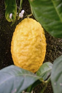 Growing Etrog Citron: How To Grow An Etrog Tree - You may have never heard of growing etrog citron, as it is generally too acidic for most people's taste buds, but it holds special religious significance for the Jewish. If you are intrigued, click here to find out how to grow an etrog tree.