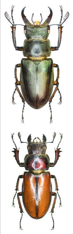 Lucanus satoi (Nagai, 2003) F Lucanidae