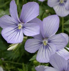 Horned Violet 'Kitten' (Viola cornuta)