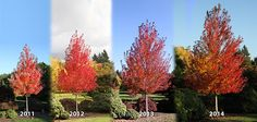 Great illustration of the growth rate of a Redpoint® Maple, thanks J. Frank Schmidt & Son Co! Acer Rubrum, Trees And Shrubs, Trees To Plant, Best Shade Trees, Tree Identification, Maple Tree, Small Farm, Garden Trees, Native Plants