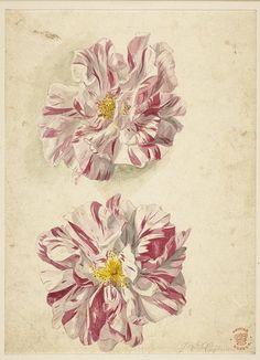 Flower studies by Dutch artist Jan van Huysum camellias
