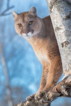 Queen of this Forest (And You'd Better Believe It! - Cookie the Mountain Lion (Puma concolor) - captive animal
