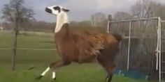 I don't know why but i can't stop watching this, It's A Llama Frolicking To DMX