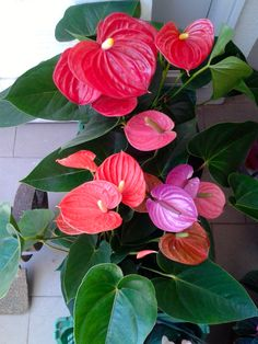 Anthurium andraeanum (also known as tail flower) Planting Flowers, Large Floral Arrangements, Variegated Plants, House Plants, Anthurium, Longwood Gardens, Pretty Flowers, Flower Images, Tropical Flowers