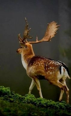 brave deer.. (by Uwe Steger)