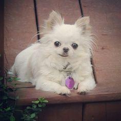Cute Chihuahua, Chihuahuas, Puppys, Love People, My Animal, Sadie, Scrapbooking Layouts, Doggies, Fur Babies