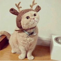 I am a CAT! I am not a reindeer! Take this stupid thing off and go put it on that yappy dog! He won't know the difference in that walnut between his ears!