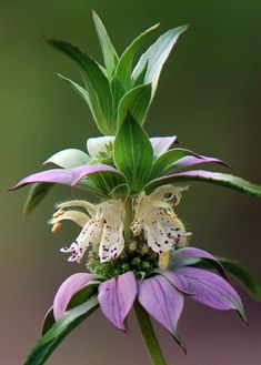 Lemon bee balm (bergamot)